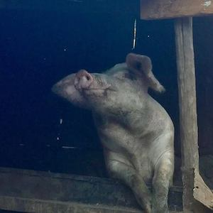 Porridge and Rice's first breeding sow